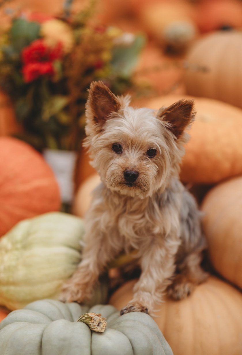 Small terrier puppy sitting on pumpkins